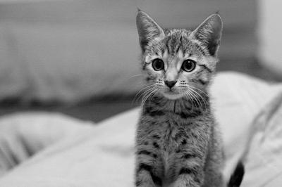 ベンガル子猫1.jpg