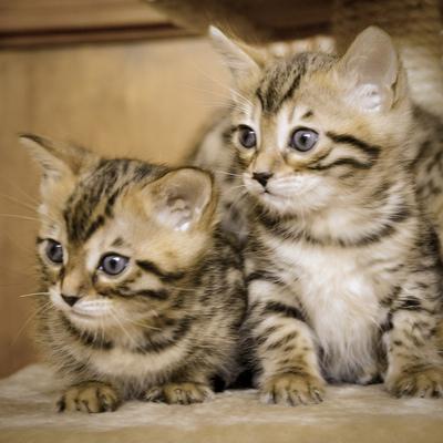ベンガル子猫2.jpg